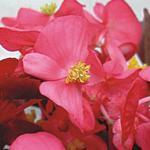 Begonia semp. Akord tm. růžová F1 1/16g