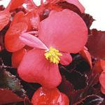 Begonia semp. Akord šarl. červená F1 1/16g