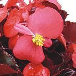 Begonia semp. Akord šarl. červená F1 0,25g