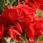 Begonia t. pendula Chanson jasně červ. F1 50 pelet