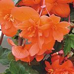 Begonia t. pendula Chanson lososová F1 1/16g