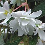 Begonia t. pendula Chanson bílá F1 0,25g