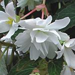 Begonia t. pendula Chanson bílá F1 50 pelet