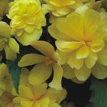 Begonia t. pendula Chanson žlutá F1 0,25g