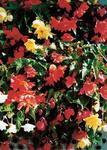 Begonia t. pendula Chanson směs F1 0,25g