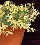 Begonia b. Copacabana yellow F1 250 pellets