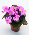 Begonia semp. Nightlife Pink F1 1000 pellets