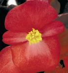 Begonia semp. Nightlife Red F1 1000 pelet