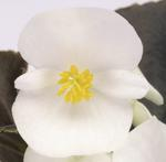 Begonia semp. Nightlife White F1 1000 pelet