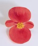 Begonia semp. Sprint Scarlet F1 1000 pelet