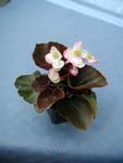 Begonia semp. Náchod F1 0,25g