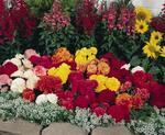 Begonia tuberhybrida Nonstop Mix F1 250 pelet