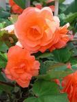 Begonia tuberhybrida Lososová 1/16g