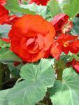 Begonia tuberhybrida Tmavě červená 1/16g