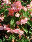 Begonia t. pendula Chanson růžovo-bílá F1 0,25g