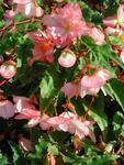 Begonia t. pendula Chanson růžovo-bílá F1 50 pelet