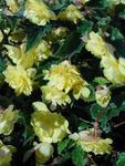 Begonia t. pendula Chanson světle žlutá F1 50 pel.