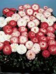 Bellis perennis Habanera Mix 500 seeds