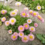 Bellis perennis Pink colour shades 1g