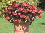 Begonia x b. Big® Red Bronze Leaf F1 200 pelet