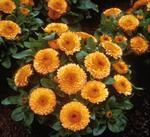 Calendula off. Bon Bon apricot orange 500 seeds