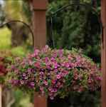 Calibrachoa Kabloom Deep Pink 100 pelet