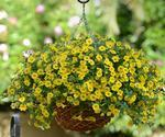 Calibrachoa Kabloom Yellow 100 pelet