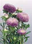 Callistephus chinensis Gala Lavender 1000 seeds