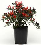 Capsicum annuum Midnight Fire 100s