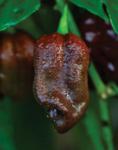 Capsicum chinense Habanero Choco 250s