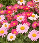 Chrysanthemum coccineum Robinsons Giant Mix 1g