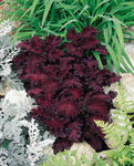 Coleus blumei Wizard Black Dragon 500 seeds