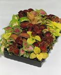 Coleus blumei Wizard Mix 500 seeds