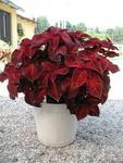 Coleus blumei  Wizard Velvet Red 500 seeds