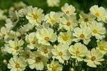 Cosmos bipinatus Xanthos FSN-FSG 100 seeds