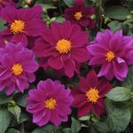 Dahlia variabilis Figaro Violet Shades 100 seeds