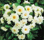 Dahlia variabilis Figaro White 100 seeds