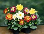 Dahlia variabilis Harlequin Mix 100s