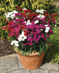 Dianthus  Dynasty Mix 200 pelet