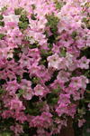 Petunia h. Diamond Pearly Shades  F1 50 pelet