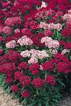 Dianthus barbatus New Colour Mix 2g