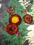Helichrysum bracteatum Hnědé 2g