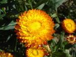 Helichrysum bracteatum Oranžové 2g