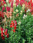Antirrhinum majus Medium-high mixture 2g