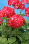 Pelargonium x h. Vlasta F1 100 seeds