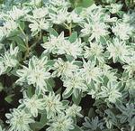Euphorbia marginata Icicle 5g