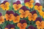 Viola c. Floral Orange Red Wing F1 250 seeds