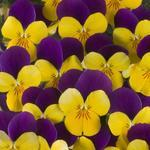 Viola c. Floral Gold Purple Wing F1 250 seeds