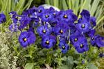 Viola c. Floral Deep Blue Blotch F1 250 seeds