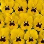 Viola c. Floral Yellow Blotch F1 250 seeds